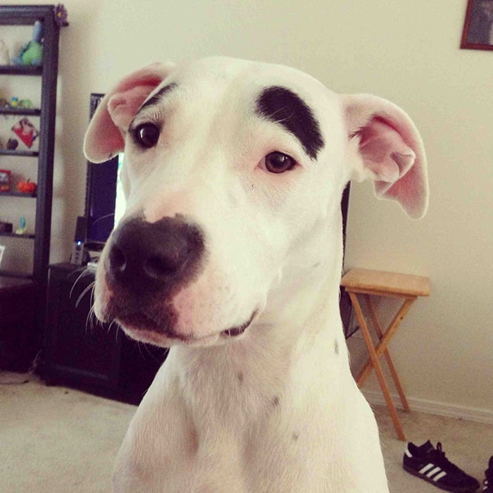 chien-avec-des-sourcils-2