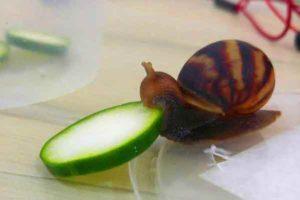 escargot-concombre-une