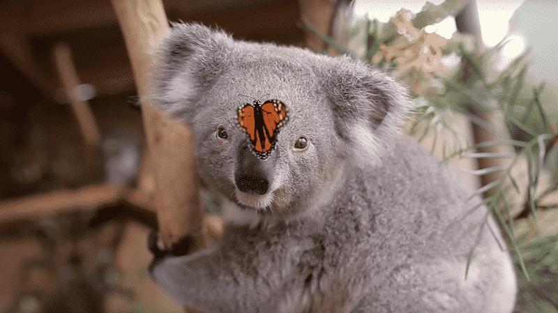koala-papillon