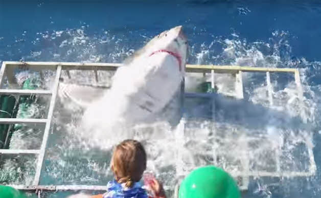 requin-blanc-cage-2