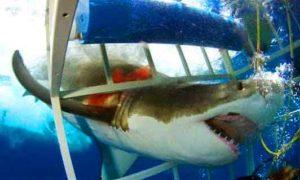 requin-blanc-cage