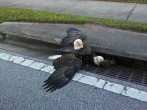 aigles-coinces