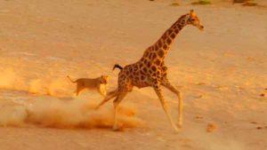 girafe-lionne