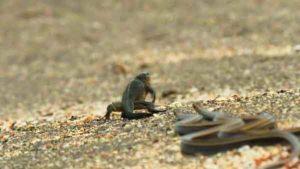 iguane-serpent